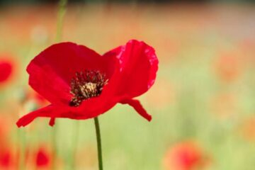poppy remembance sunday